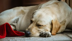 """I have done enough today"" (Sharron Burns) Tags: dog sleeping yellowlab labrador"