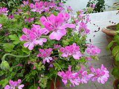 Geranium  P1020926 (LesD's pics) Tags: flowers blossom blooms geranium