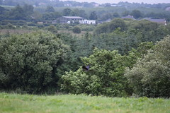 Hooded Crow (dgspen) Tags: ireland nature birds wildlife northernireland corvid ulster rspb hoodedcrow portmorelough