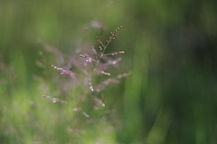 connect the dots (RhinoSkin) Tags: blur grass bokeh blooms