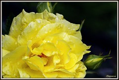 _JVA6866 (mrjean.eu) Tags: park pink flowers blue roses white france flower macro green nature fleur rose yellow fleurs garden nikon jardin botanic lorraine botanique parc metz 105mmf28