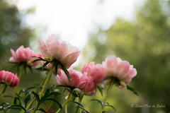 La Danse des Pivoines (Sous l'Oeil de Sylvie) Tags: pivoinesfleursflowers pink rose danse ciel sky bokeh pdc dof profondeurdechamps sousloeildesylvie parcveilleux saintgeorges beauce qubec juin june 2016 lumire light tamron90mm pentax ks2 outside extrieur vivaces