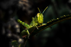 Hopper (federicophotography) Tags: macro nature insect photography nikon natural flash 100mm tokina micro d750 grasshopper hopper federico magnification federicophotography