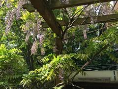 Garden, mid-May (fjordaan) Tags: flower london garden wisteria 2016