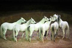 Cavalia Show (wang_xiao) Tags: horse cavalia show beijing chaoyang park white