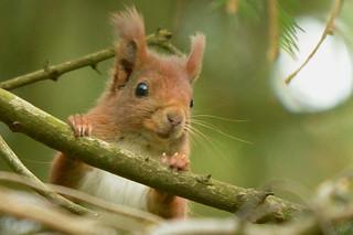 Eichhörnchen, NGIDn1729156379