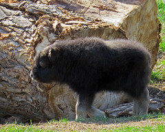 Muskox Calf (njchow82) Tags: nature animal wildlife calgaryzoo animaladdiction specanimal thewildlife worldofanimals itsazoooutthere earthnaturelife muskoxcalf bornapril232013