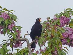 Solsort hos Margit (Toms karameller) Tags: turdusmerula blackbird amsel solsort svarttrost koltrast