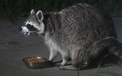 Raccoon (dkfotog) Tags: backyard critter wildlife flash remote raccoon offcamera pocketwizard strobist