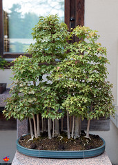 Bonsa & Penjing - Trident maple forest - Acer buergerianum - Aceraceae - Donated by Government of Japan - 50 years old 5D20130518 222 (fotoproze) Tags: canada quebec montreal  bonsa jardinbotaniquedemontral penjing montrealbotanicalgardens 2013      bonsaje  bonsaitr    cycnhhnnonb
