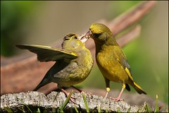 Verdilho,European Greenfinch - (Carduelis chloris) (Jos Diogo 58) Tags: