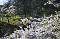 95080021 (lkayosl) Tags: flowers tree nature cherry spring purple blossoms sakura cherrytree