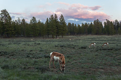 Pronghorn Antelope at Dusk (no3rdw) Tags: park outdoors wildlife scenic canyon hike national antelope bryce pronghorn