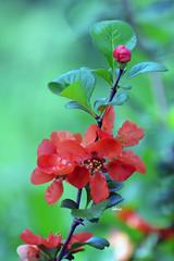 Red flowers (bbic) Tags: flowers red bucharestbotanicalgarden gutuijaponez