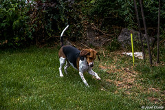 Maggie (jncevcosta) Tags: beagle