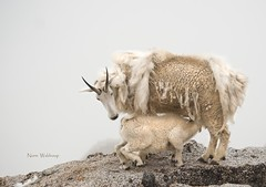 Mountain Goat Nursing on a Foggy Cliff (Pragmatic1111) Tags: wild mountain fog kid nikon colorado wildlife goat billy nurse mountaingoat mountevans d700 slicesoftime mygearandme mygearandmepremium mygearandmebronze