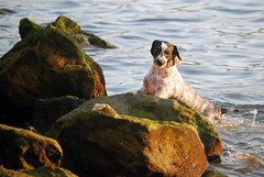 Zuri on the rocks (Txulu) Tags: sea sol beach dogs swimming mar rocks nadar verano perros mascotas euskadi playas rocas