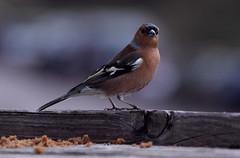bird crumbs bullfinch westonbirtarboretum
