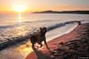morning bath (.:: Maya ::.) Tags: sea dog sun love beach goldenretriever sunrise sand vacantion море куче иракли плаж голденретривър