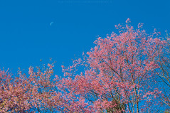 Pink and The Moon (Kwanchai_K) Tags: road park trip travel pink winter wild sky house mountain holiday plant cold flower color macro tree green art leave tourism nature floral grass japan garden season cherry landscape thailand outdoors japanese spring flora colorful natural path vivid tent fresh bark romantic sakura chiangmai warming pathway springtime global thaisakura ซากุระ นางพญาเสือโคร่ง khunmaeya khunchangkian thailandsakura queentigerflower