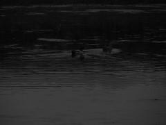 digital noise grasses (William Keckler) Tags: lake evening ducks darkphoto manmadelake