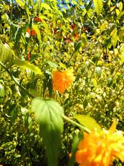 kinda Kerria    (^^Teraon) Tags: life road city trip urban flower color building nature japan photography town nikon kyoto shrine image walk snapshot flor snap unesco coolpix recent imagery santuario shimogamo kerria bloomed santurio kyotocity   imagescenery floresceu mentalscenery