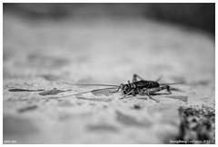 299/365 | Jos, el ruidoso. (cefuenco) Tags: blackandwhite blancoynegro insect cricket 365 insecto antenas grillo a700 lowdof originalphotography 365project minolta28mm proyecto365 originalphotographer lensblr photographersontumblr 365challengue