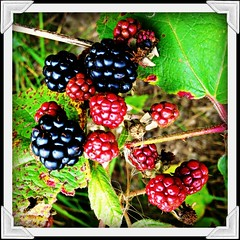 R.I.P. Lou Reed (BurstsofSingleMindedness) Tags: nature fruit berries belgium belgie loureed flanders vlaanderen wildberries wildblackberries braambessen riploureed
