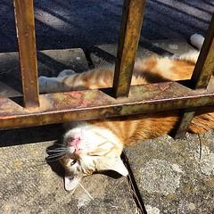 Miiiaaaooo at FIRENZE ♥♥♥ #instlike_com #gifts... (richardjoyfulsunset) Tags: pet cats pets love nature animal cat kitten sweet kitty kittens cutie gifts ilovemycat palazzopitti ilovemypet catlovers catlover petsagram petstagram 20likes catstagram catsofinstagram instacat picpets instapets uploaded:by=flickstagram instlikecom funpetlove instagram:photo=551884434434266587195730356
