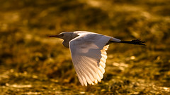 Egret in flight (Awais.M (1M views+ Views Thank you )) Tags: pakistan punjab egret birdphotography egretinflight wildlifephotography sadiqabad canonef400mmf56lusm birdsinpakistan wildlifeinpakistan flyingegret canoneos1dmarkiv awaismustafa awaism