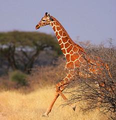 Shaba Racing Club! (Rainbirder) Tags: kenya reticulatedgiraffe giraffacamelopardalisreticulata somaligiraffe shabanationalpark rainbirder