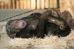 2014-01-05-10h04m40.272P6023 (A.J. Haverkamp) Tags: zoo thenetherlands chimpanzee amersfoort dierentuin bini chimpansee dierenparkamersfoort canonef70200mmf28lisusmlens httpwwwdierenparkamersfoortnl dob1982