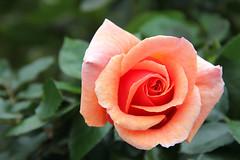 A Rose in Balboa Park (Robert F. Carter Travels) Tags: california roses sandiego rosegarden balboapark flowergardens inezgrantparkermemorialrosegarden