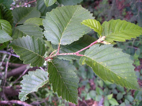 Photo - Foliage of Thinleaf Alder.