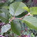 Foliage of Thinleaf Alder.