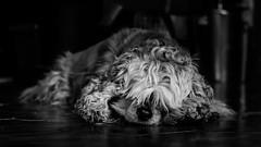 Carpette Diem (yriann48) Tags: portrait chien noiretblanc enjoy noirblanc pepette nikond5100