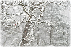 Snowflakes Everywhere (lclower19) Tags: trees winter snow storm 50mm nikon flakes odc d90 {vision}:{sky}=0521 {vision}:{plant}=078 {vision}:{outdoor}=0981