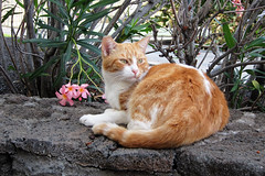 the door cat (heartinhawaii) Tags: cat straycat gingercat cattreats friendlycat cathumor hotelcat hawaiicat resortcat doorcat catwithflowers catdoorman bigislandcat bigislandinfebruary hawaiiinfebruary