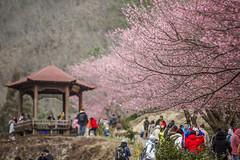 (hunterxstevenx) Tags: mountain cherryblossom     wulingfarm  taichungcounty  fushoushanfarm  hepingtownship