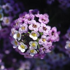 Alyssum with Water Droplets (~Jeannine~) Tags: flowers flower purple lavender ie alyssum sweetalyssum blinkagain