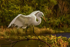 Life is a Balancing Act... (jeannie'spix) Tags: bird painting whiteegret 2014 whiteheron wakodahatchee 2014birds