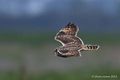 Coruja-do-nabal | Short-eared owl | Asio flammeus (Álvaro Nunes) Tags: shortearedowl asioflammeus corujadonabal
