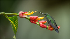 Green-crowned Brilliant (Raymond J Barlow) Tags: travel flower green costarica hummingbird wildlife ngc adventure phototours raymondbarlowphototours