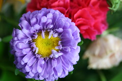 Purple and Pink Flowers (shaire productions) Tags: pink plants abstract flower detail macro nature floral beauty photography photo petals purple picture pic photograph vegetation daisy imagery