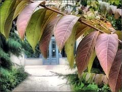 (Tlgyesi Kata) Tags: budapest botanicalgarden crapemyrtle lagerstroemia fvszkert botanikuskert withcanonpowershota620 selyemmirtusz hdrlikeeffect lagerstrmien