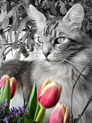 Tulip time and time for Floris (Cajaflez) Tags: floris tulips tulpen pet cat kat kater tomcat katze chat gatto longhair langharig mainecoon raskat portrait portret mygearandme mygearandmepremium mygearandmebronze ruby10 mygearandmesilver mygearandmegold mygearandmeplatinum mygearandmediamond ruby15 ruby20 rubyfrontpage