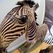 19th Century Zebra