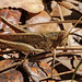 Bird Grasshopper (Schistocerca sp.)