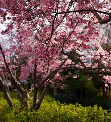 Spring Is Coming... (JN) Tags: pink flowers cherry spring louisiana fuji bokeh blossoms fujifilm shreveport x100s