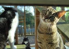Cousin with Idaho & Batman (rootcrop54) Tags: cat cats idaho batman cousin catenlosure inquisitive explore cc1000 cc5000
